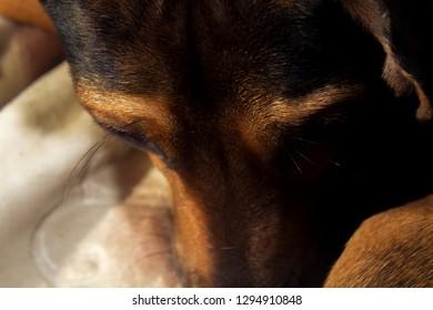 Brindle hound dog gazing down, dog vibrissae.