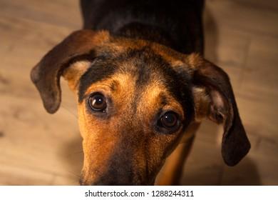 A brindle hound dog looking upwards.