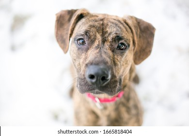 A brindle Hound x Terrier mixed breed dog outdoors in the snow, looking up at the camera