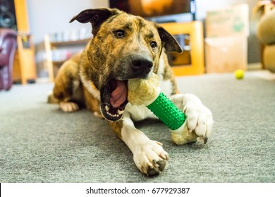 A brindle Labrador mixed dog chews on a bone chew toy and plays with its owner.