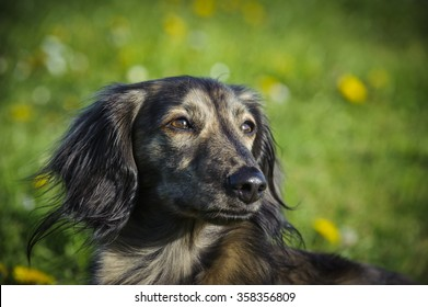 Brindle Long haired Miniature Dachshund, head shot in the grass