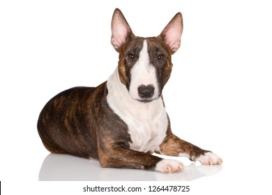 brindle miniature bull terrier dog lying down on white