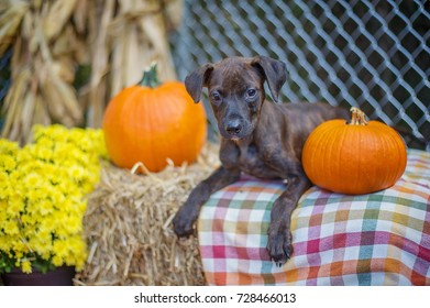 Brindle Pit Bull Mix Puppy in Shelter