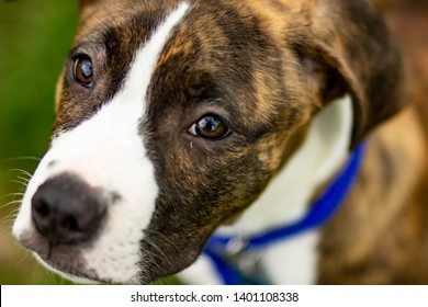 brindle pitbull boxer portrait close up