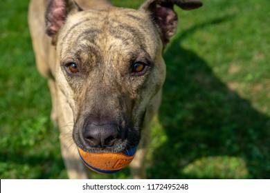 Brindle Pitbull Dog outdoor