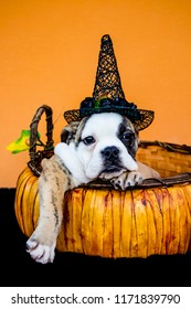 Brindle and White Bulldog Makes Funny Pose in a Pumpkin Basket while Wearing a Witch Hat in front of an Orange Background for Halloween