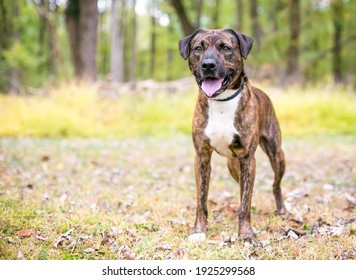 A brindle and white mixed breed dog standing outdoors