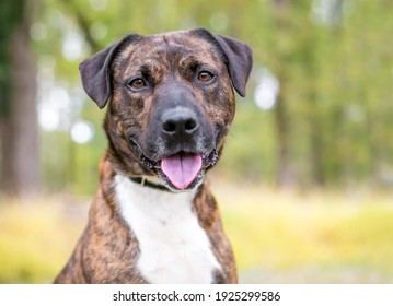 A brindle and white mixed breed dog looking at the camera with a happy expression