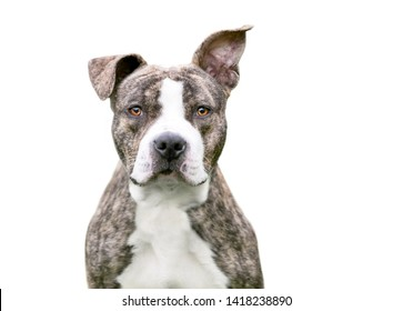 Brindle Pit Bull Images, Stock Photos & Vectors | Shutterstock
