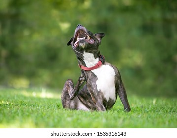 A brindle and white Pit Bull Terrier mixed breed dog sitting outdoors and scratching at its collar
