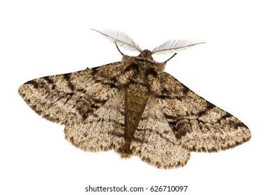 The brindled beauty (Lycia hirtaria) isolated on white