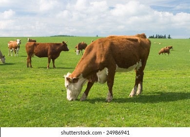 The brindled cows browse in the green field