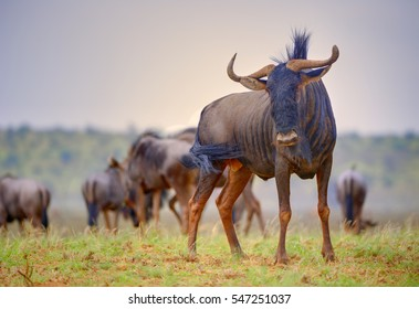 BRINDLED GNU  (Connochaetes taurinus)  aka Blue Wildebeest. a moderately large ungulate of the African savanna.