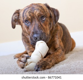 Brindled hound with a rawhide bone