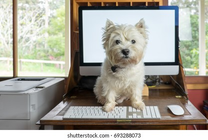 Bring dog to work day - west highland white terrier on desk with computer in working from home office