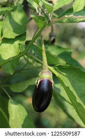 Brinjal, Egg Plant, Solanum Melongena  Aubergine, an oval shape dark purple color  fresh Brinjal vegetable hanging on branch of  green plant in the garden .
