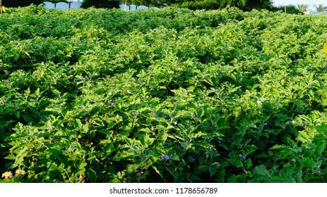 Brinjal Farming or Brinjal crop in the field