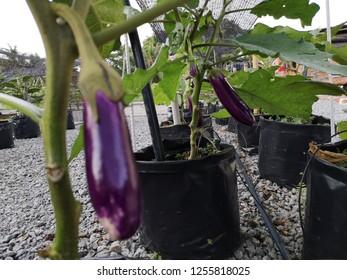 The brinjal plantation use a fertigation technique. Gardening at homeyard