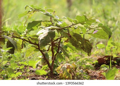 brinjal tree in nature with its products