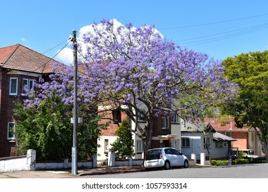 BRISBANE, AUSTRALIA, October 5 2017: Flowering jacaranda tree in a residential are in New Farm, Brisbane