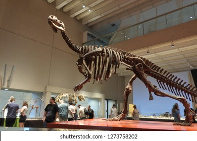 BRISBANE -JAN 02 2019:Life-size skeleton of Muttaburrasaurus langdoni dinosaurs in Queensland Museum.Muttaburrasaurus was a large, plant-eating ornithopod from the Early Cretaceous of eastern Australi