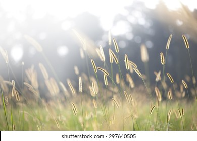 bristle grass under sunshine foxtail sunshine