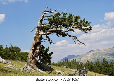 Bristlecone Pine in Southpark Colorado survivor trees living in a very highly resilient to harsh weather and bad soils, oldest organism on planet earth
