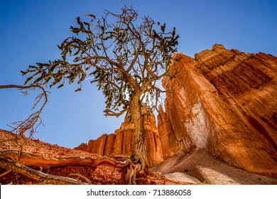 Bristle-cone Pine Tree at Bryce National Park, USA