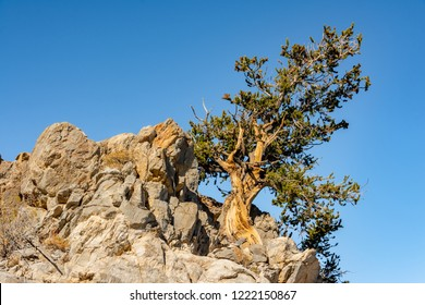 Bristlecone pine tree growing from rocky outcropping in the White Mountains of California.