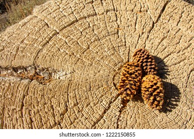 Bristlecone pine tree stump with pine cones in center. Bristle Cone pine trees are the oldest known tree.