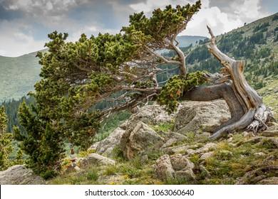 Bristlecone pine trees on Colorado's Mt. Evans.