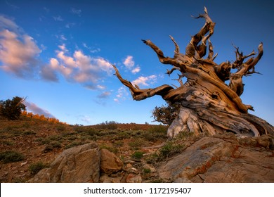 Bristlecone Pine,Pinus longaeva in the White Mountains, California. There at the Ancient Bristlecone Pine Forest is the oldest existing Lifeform on Earth. A over 5000 Years old Bristlcone Pine.