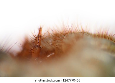 Bristles, spikes, quills, pedipalpi, sensitive elements of the larva of the may bug, Ultra macro, isolated on white