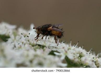 Bristly-Fly - Tachina fera