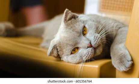 Britain cat - Shutterstock ID 601356764