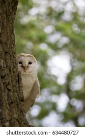 British Barn Owl resting on a branch in a tree