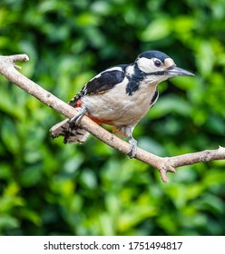British Birds - Female Great Spotted Woodpecker.