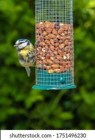 British Birds  - Fledgling Blue Tit feeding on peanuts.