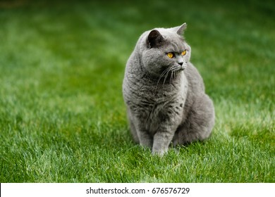British blue cat gazing on lawn