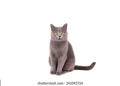 British blue cat on a white background.