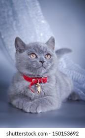 British blue kitten