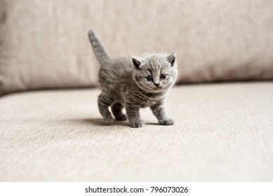 British blue kitten cute looks. British blue kitten is standing on the couch. British blue kitten is standing.