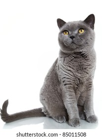 British blue short-hair cat on white background with reflections.