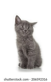 british blue shothair kitten isolated over white background