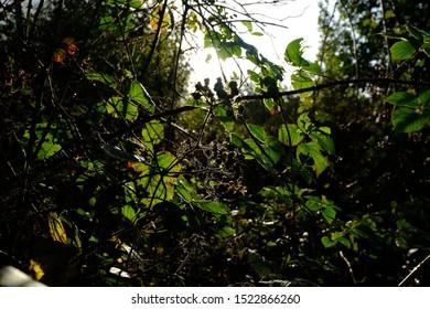 British brambles evening silhouette in Autumn