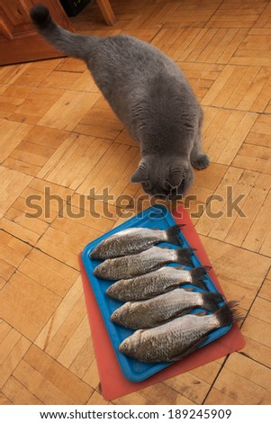 British Breed Cat Smelling Fish Stock Photo (Edit Now) 189245909