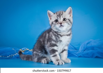 Lilac British Shorthair Cat Images Stock Photos Vectors Shutterstock