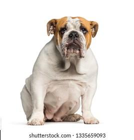 British Bulldog, English Bulldog, 10 months old, sitting in front of white background