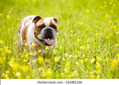 British Bulldog In Field Of Yellow Summer Flowers