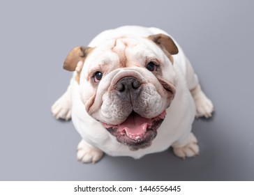 British Bulldog Puppy looking up isolated against a grey background